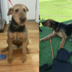 Oliver and Jazzy Airedale Dogs